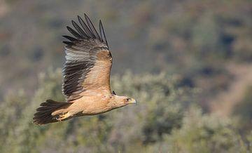 Keizerarend - Spanish Imperial Eagle van Pascal De Munck