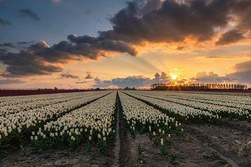 Tulipfield van Jan Koppelaar