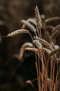 Weizen im letzten Lichtstrahl von Yvette Baur
