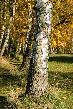 Berken in de herfst van Ostsee Bilder