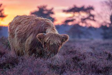 Schotse hooglander Drenthe van Bianca Blonk