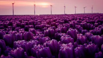 Paarse tulpen in de polder vol met windmolens van Studio de Waay