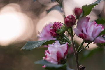 roze zachtheid van Tania Perneel