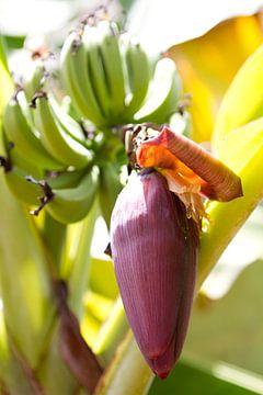 Bananenpflanze mit Blüte am Entstehungsort. von rene marcel originals