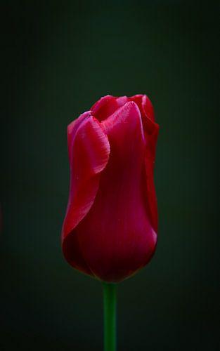 Prachtige rode tulp op zwarte achtergrond van