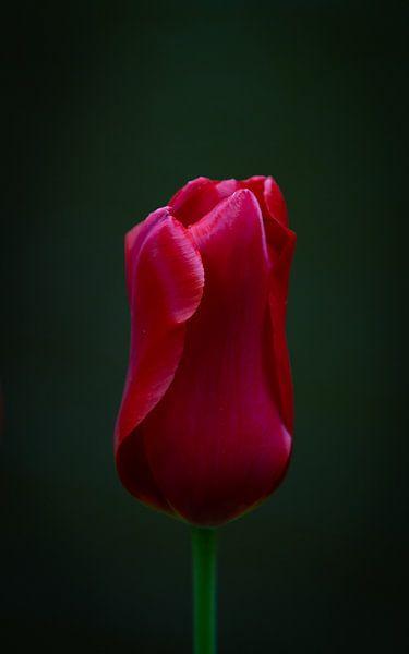 Prachtige rode tulp op zwarte achtergrond van Marja Spiering