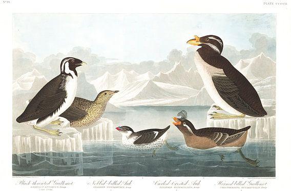 Zilveralk van Birds of America