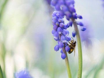 Biene auf einer blauen Traube von Barbara Brolsma