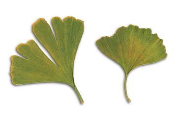 Twee ginkgo bladeren van Bianca Wisseloo