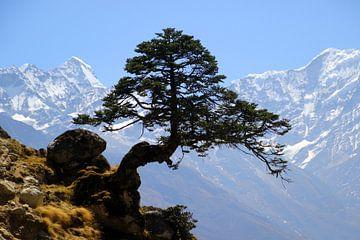 Himalaya Kiefer van