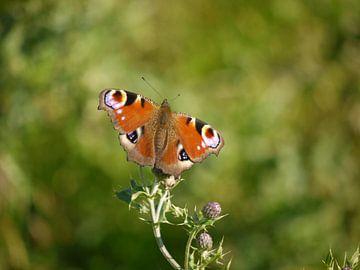 Tagesauge (Schmetterling) von Laura Pickert