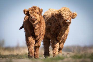 Enthousiaste, jonge Schotse Hooglanders van Isabel van Veen
