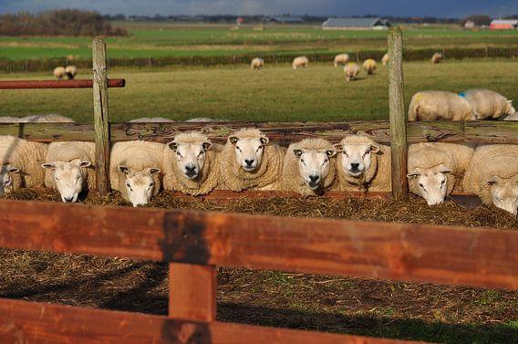 Schapen op Texel/ sheep Texel Waddendistrict
