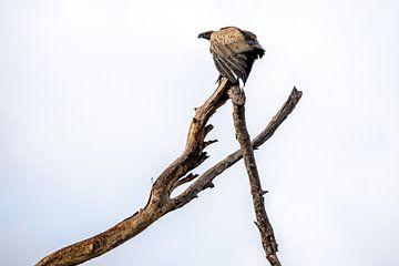 Een gier op een tak in Krugerpark (Zuid-Afrika). van Claudio Duarte