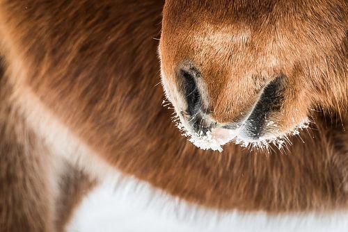 IJslands paard in de sneeuw van Eefke Smets
