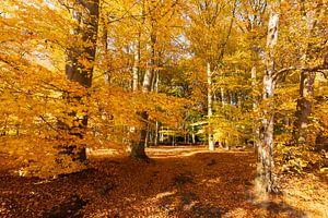 Beukenbos in gouden herfstkleuren van