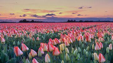 Bunte Tulpen im Frühling während des Sonnenuntergangs von eric van der eijk