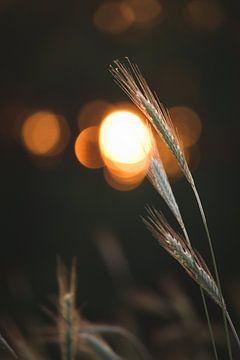 Paille avec le soleil couchant en arrière-plan sur Steven Marinus