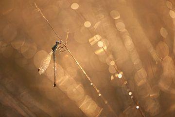 libellule à la lumière dorée sur gj heinhuis