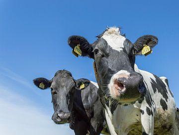 2 Kühe hollandse von Elbertsen Fotografie