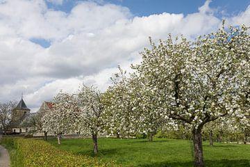 Blühende Obstbäume in Old Valkenburg, Nord-Limburg von Ger Beekes