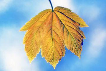 Geel bruin blad van een Esdoorn met blauwe bokeh van Ronald Smits