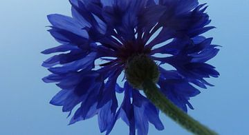 Blauwe bloem von Gonnie van Hove