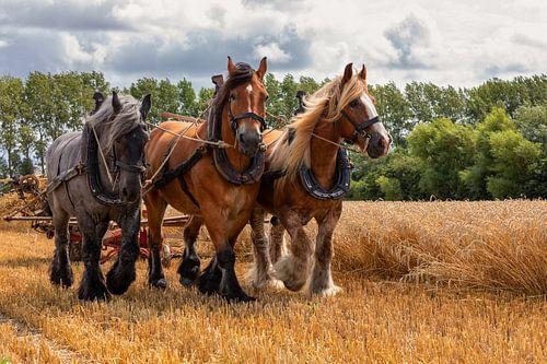 Trekpaarden oogsten op traditionele wijze tarwe van