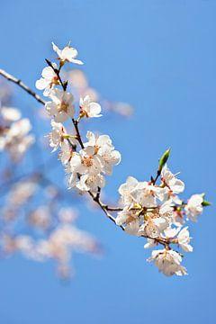 Cherry tree tak met witte bloesem tegen een blauwe hemel van Tony Vingerhoets