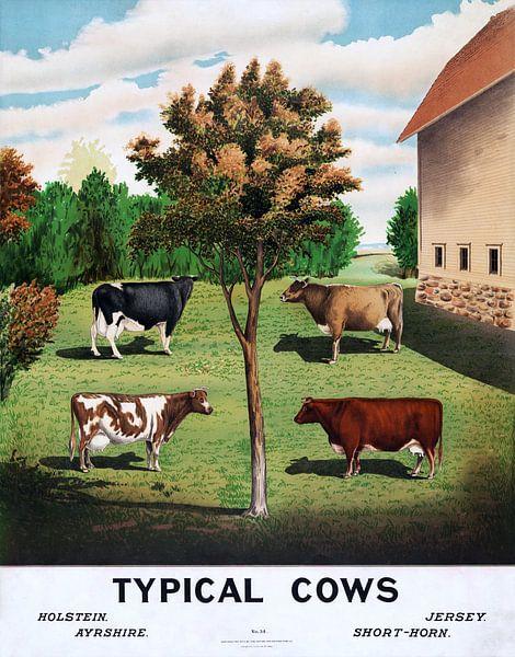 Oude poster uit 1904 met verschillende koeienrassen van Atelier Liesjes