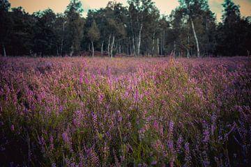 Heide in bloei van Dirk Smit