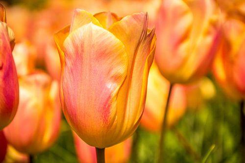 Fleurige tulpen