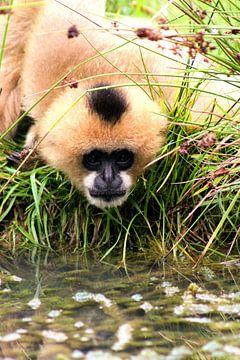 Gibbon van Kim de Groot