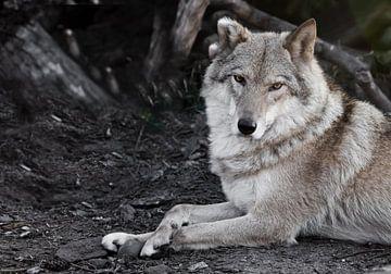Evaluation du regard. La femelle louve est magnifiquement couchée sur le sol, imposante. Puissant an sur Michael Semenov