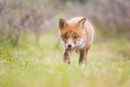 vossen welp