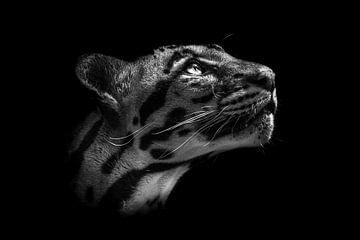 Nebelparder schaut nach oben (schwarzer Hintergrund). von Daphne van Dam