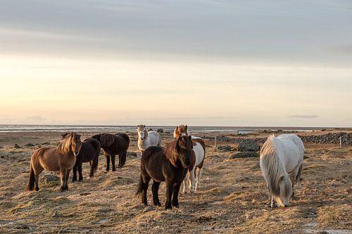 Kudde IJslandse paarden van Inge Jansen