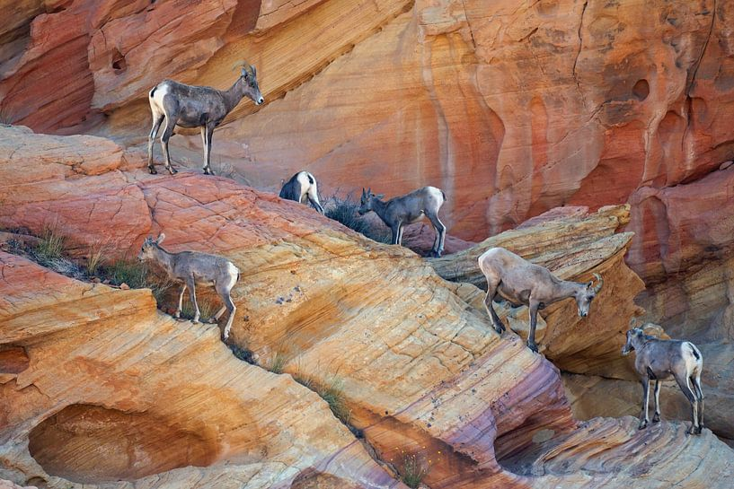 Mountain Goat Valley of Fire USA van Tom Oosthout