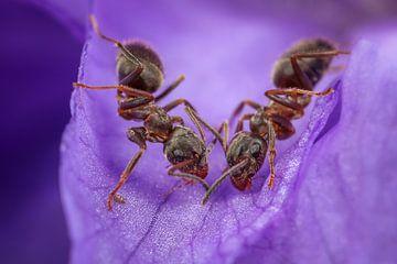 Deux fourmis sur violet sur Amanda Blom