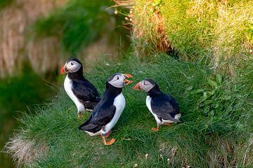 Familie Papageitaucher von Merijn Loch