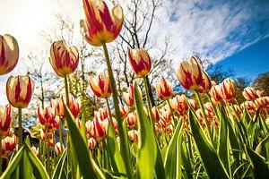 Fleurige gekleurde tulpen