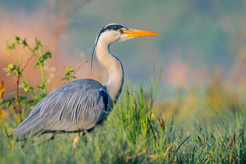 Blauwe reiger van Sam Mannaerts Natuurfotografie