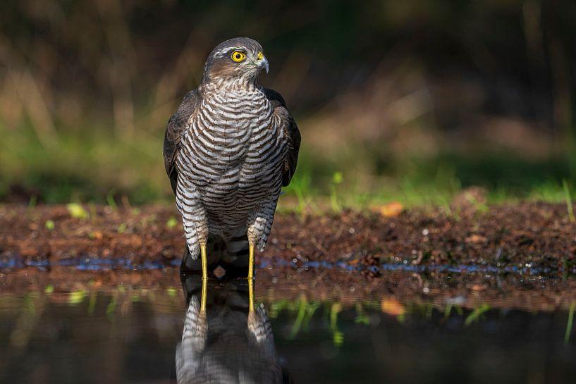 Épervier, oiseau de proie sur Rando Kromkamp