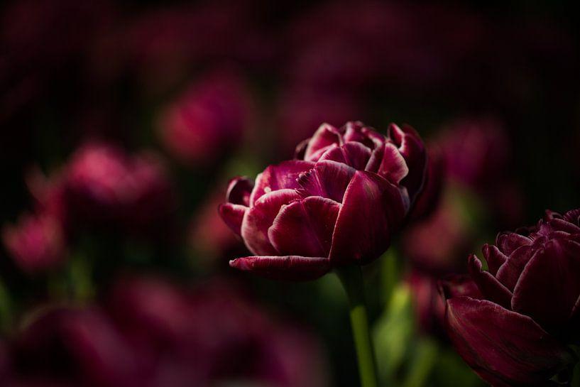 bijzondere tulp van Jovas Fotografie