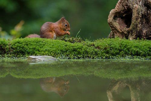 Rode eekhoorn met reflectie van