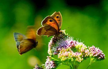 vlinders bij bloem van Petra De Jonge
