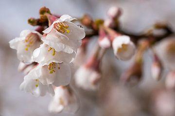 Sierkers Kojou-no-mai (Prunus incisa) van Alexander Ludwig