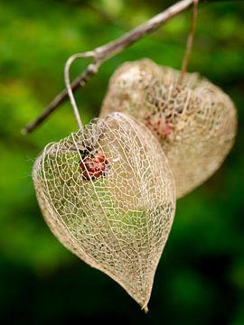 Lampionplant van Jo Beerens