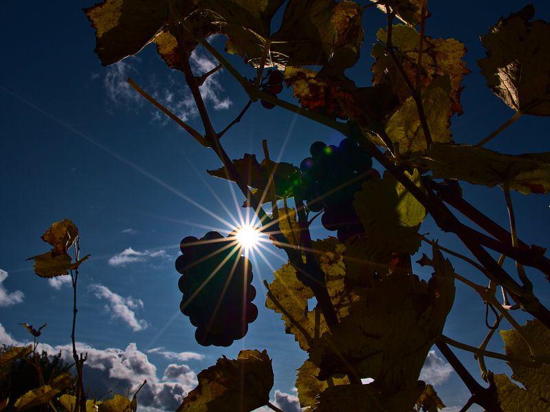 Zon schijnt door wijnranken met verkleurde bladeren en rijpe druiven voor ijswijn in de herfst van Timon Schneider