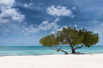 Divi divi boom op strand van Oranjestad Aruba van eusphotography
